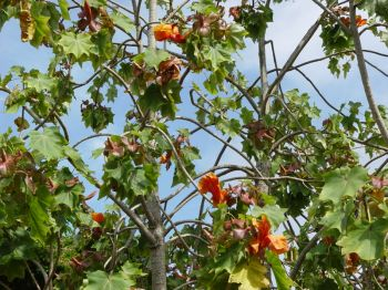 Kokia kauaiensis   - Branches with flowers