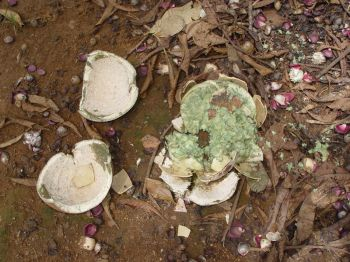 Couroupita guianensis   - Broken fruit shell revealing separated inner casing containing seeds
