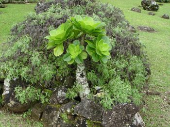 Brighamia insignis   - Habit, with atypical side branches