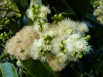 Syzygium samarangense   - Flower