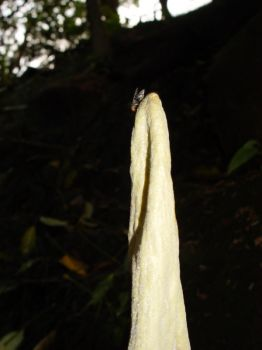 Amorphophallus lambii   - Fly is drawn to putrid smell