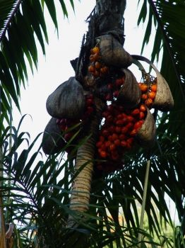 Bactris gasipaes   - Ripe fruit