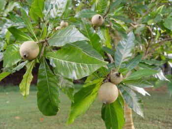 Genipa americana-果物の詳細 - Genipa americana - Fruit detail