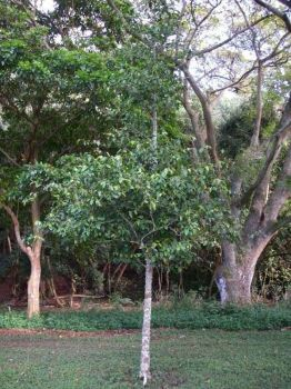 Gnetum gnemon   - Tree habit