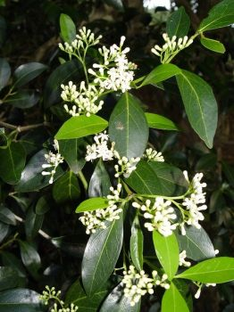 Psydrax odorata   - Flowers, buds and new leaves