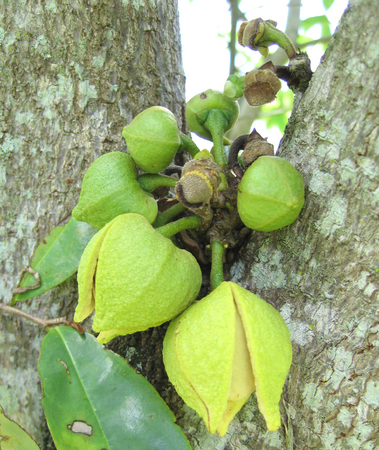 Annona muricata   - 