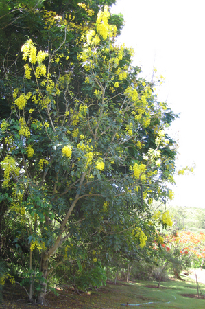Cassia fistula   - 