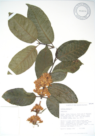 Coffea arabica   -