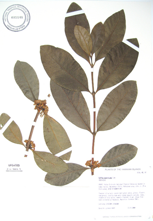 Coffea mauritiana   - 