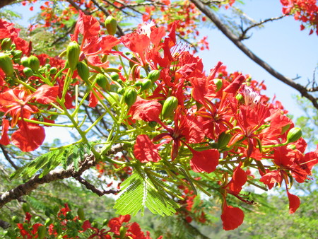 Delonix regia   - Buds and open flowers