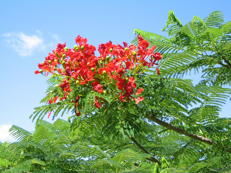 Delonix regia   - Branches with flowers and leaves