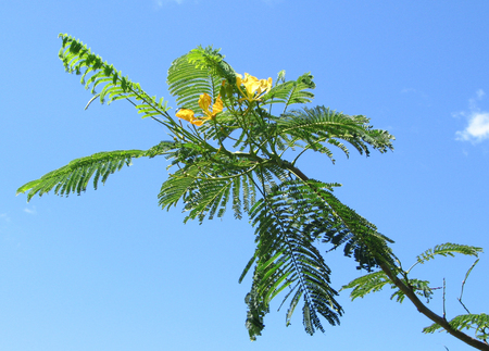 Delonix regia   - Branch, yellow flower form