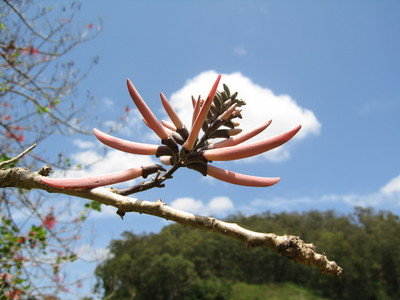 Erythrina lanata subsp. occidentalis  - 
