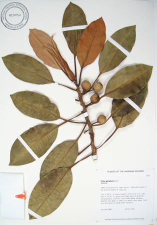 Ficus macrophylla   - 