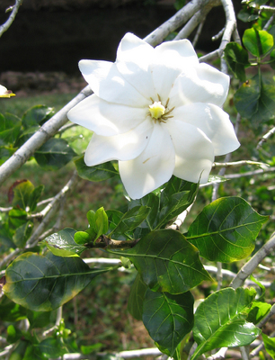 Gardenia thunbergia   - 