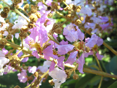 Lagerstroemia duperreana   - Close-up of flowers