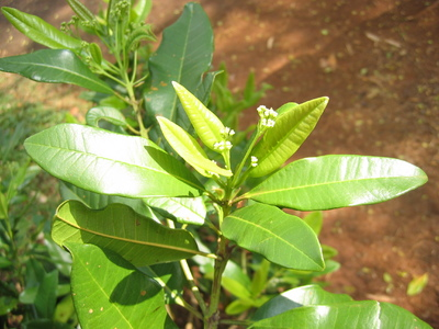 Pimenta dioica   - 