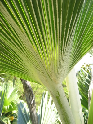 Pritchardia hillebrandii   - 
