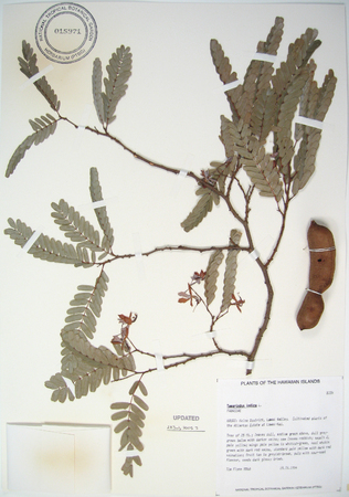 Tamarindus indica   - 
