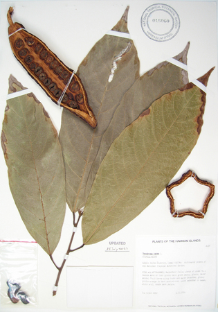 Theobroma cacao   - 