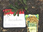 Macadamia integrifolia   - 