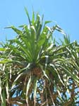 Pandanus tectorius   - tree detail with fruit