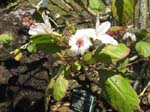 Hibiscus waimeae subsp. hannerae  - Flowering branch