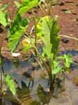 Colocasia esculenta   - Habit in wetland