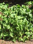 Piper methysticum   -