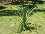 Pandanus tectorius   - smooth-edged leaf variety