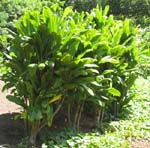 Cordyline fruiticosa   - Habit, common green leaf form