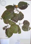 Cordia subcordata   - 