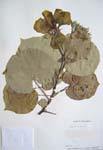 Hibiscus tiliaceus   - 