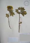 Gossypium tomentosum   - 