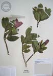 Hibiscus kokio subsp. saintjohnianus  - 