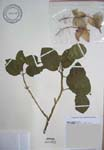 Hibiscus waimeae subsp. hannerae  - 