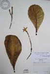 Brighamia insignis   - 