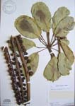 Schefflera actinophylla   - 