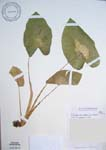 Colocasia esculenta   - 