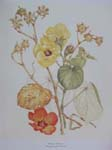 Hibiscus tiliaceus   - Watercolor