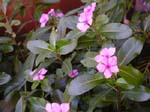 Catharanthus roseus   - plant detail