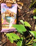 Colocasia esculenta   - Taro chips and plants