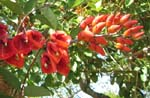 Erythrina X malottorum   - flower detail