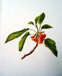 Cordia subcordata   - Sinclair, FI.   Indigenous Flowers of the Hawaiian Islands.   Marston, Searle and Rivington.  London.  1885.
