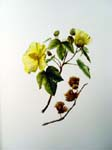 Gossypium tomentosum   - Sinclair, FI.   Indigenous Flowers of the Hawaiian Islands.   Marston, Searle and Rivington.  London.  1885.