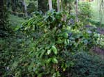 Coffea arabica   - full plant