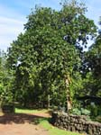 Artocarpus heterophyllus   - 