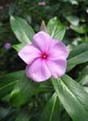 Catharanthus roseus   - Rosy periwinkle flower detail