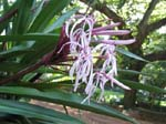 Crinum pedunculatum   - form with purple flowers