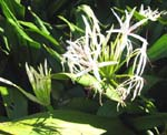 Crinum pedunculatum   - Form with white flowers